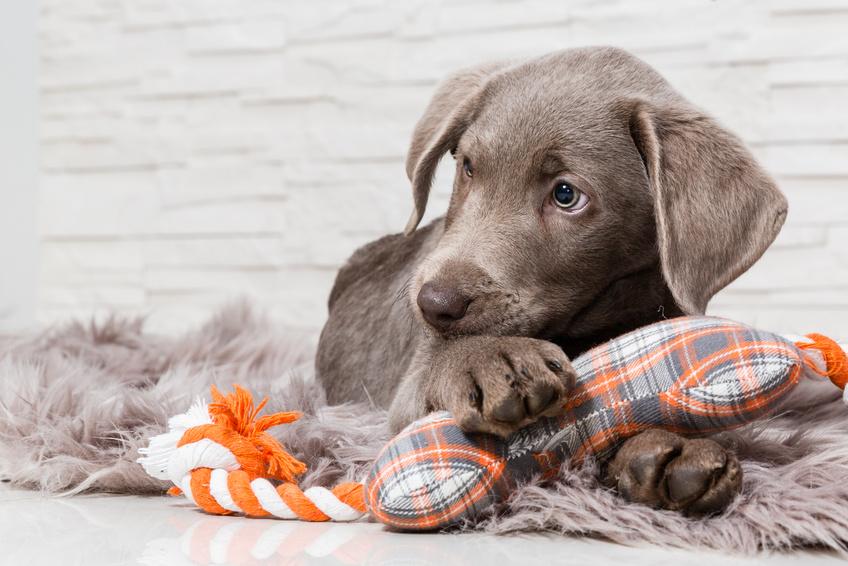 Hundewelpen-Erziehung